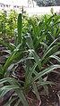 Long lily 02.jpg