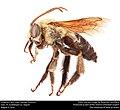 Longhorn bee, male (Apidae, Eucerini) (29248115801).jpg