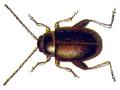 Longitarsus apicalis.png