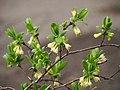 Lonicera caerulea subsp. edulis 2018-04-15 02.jpg