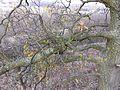 Loranthus europaeus sl2.jpg