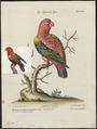 Lorius garrulus - 1700-1880 - Print - Iconographia Zoologica - Special Collections University of Amsterdam - UBA01 IZ18500296.tif