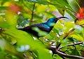 Loten's Sunbird (Male).jpg