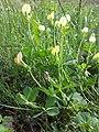 Lotus maritimus (var. siliquosus) sl24.jpg