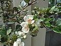 Luma apiculata - Palmengarten Frankfurt - DSC01976.JPG