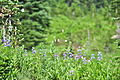Lupinus latifolius & Bistorta bistortoides - Paradise, Mount Rainier, August 2014 - 01.jpg