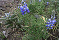 Lupinus pubescens (14283787748).jpg
