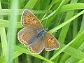 Lycaena hippothoe ♀ - Purple-edged copper (female) - Червонец щавелевый (самка) (26140062697).jpg