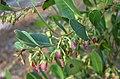 Lyonia lucida (2969177007).jpg