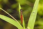 Lyriothemis acigastra male at Kadavoor.jpg