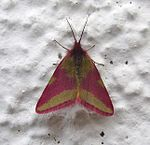 Lythria cruentaria at a wall.jpg