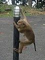 Macaque Monkeys from Monkey Hill, Phuket, Thailand (45007226875).jpg