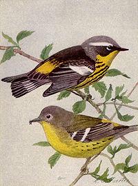 Magnolia Warbler NGM-v31-p313-A