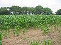 Maize field NE of Shingle Barn Farm - geograph.org.uk - 55251.jpg