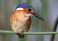 Malachite Kingfisher, Alcedo cristata at Marievale Nature Reserve, Gauteng, South Africa (25886880186).jpg