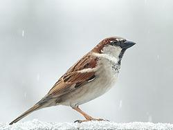 Male House Sparrow 2 - crop.jpg