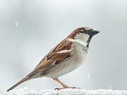 Male House Sparrow 2 - crop.jpg