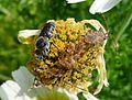 Male Megachilidae. Hoplitis species - Flickr - gailhampshire.jpg