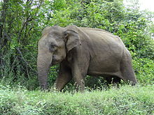 Male elephant at A-15, Sri Lanka.JPG