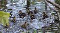 Mallard (Anas platyrhynchos), Juveniles - Guelph, Ontario.jpg