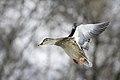 Mallard duck,BDT5511.jpg