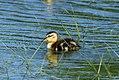 Mallard duckling stony brook harbor june 19 (14290812674).jpg