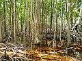 Malpighiales - Rhizophora mangle - 22.jpg