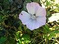 Malva tournefortiana FlowerCloseup2 17May2009 DehesaBoyaldePuertollano.jpg
