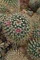 Mammillaria backebergiana kz01.jpg