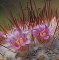 Mammillaria bombycina (13985087436).jpg