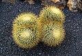 Mammillaria rhodantha pringlei.jpg