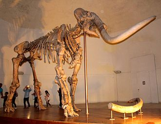 Mammuthus meridionalis - Complete skeleton in the Museo Nazionale d'Abruzzo, Italy