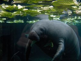 Manatee Looking at the Camera.jpg
