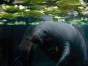 Guadeloupe National Park - Manatee