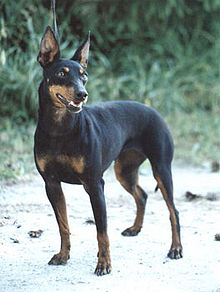 Manchester Terrier Wikipedia La Enciclopedia Libre
