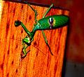 Mantis en Cura Brochero, Cordoba, Argentina.JPG