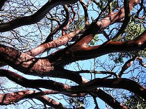 Manzanita - Manzanita bark