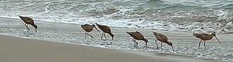 Marbled godwit - Image: Marbled Godwits Feeding