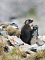 Marmota marmota Glockner 2009 06.jpg