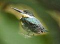 Martin-pêcheur vert (Chloroceryle americana) femelle.jpg