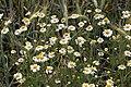 Matricaria chamomilla JM.jpg