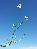 Matricaria chamomilla sl2.jpg