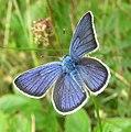 Mazarine Blue. Polyommatus (Cyaniris) semiargus - Flickr - gailhampshire.jpg