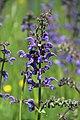 Meadow sage - Salvia pratensis - panoramio.jpg