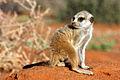 Meerkat pup.jpg