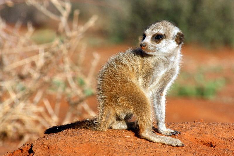 File:Meerkat pup.jpg