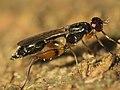 Megamerinidae wynaad3.jpg