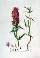 Melampyrum arvense — Flora Batava — Volume v3.jpg