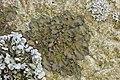 Melanohalea sp. (26789590318).jpg