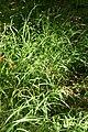 Melica-uniflora-habitus.jpg